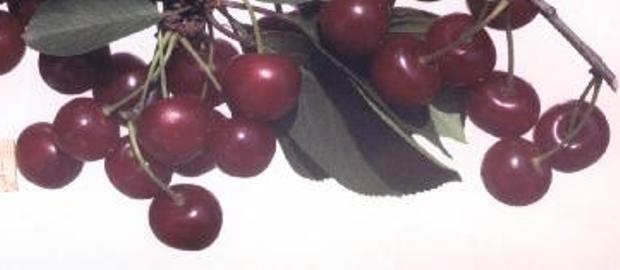Сорт вишни обыкновенной: Шалунья