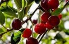 Сорт вишни обыкновенной: Шаринская