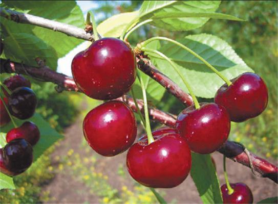 Сорт вишни обыкновенной: Шубинка