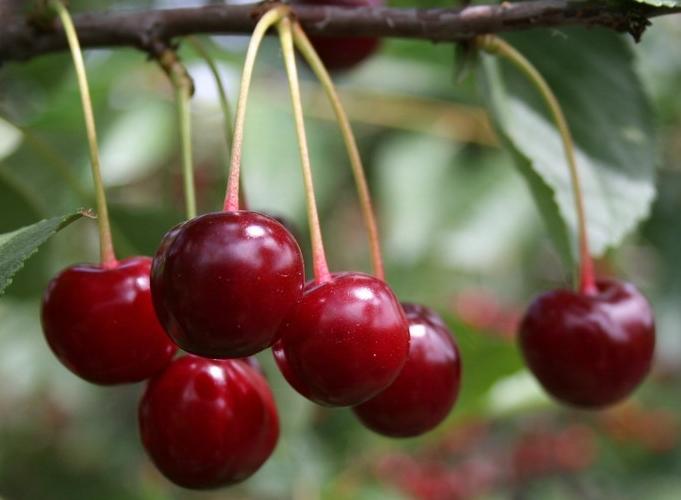 Сорт вишни обыкновенной: Сания