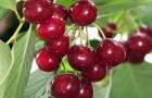 Сорт вишни обыкновенной: Саратовская малышка