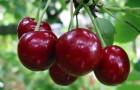 Сорт вишни обыкновенной: Севастьяновская