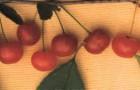 Сорт вишни обыкновенной: Сеянец Любской