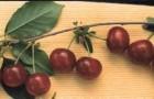 Сорт вишни обыкновенной: Троицкая