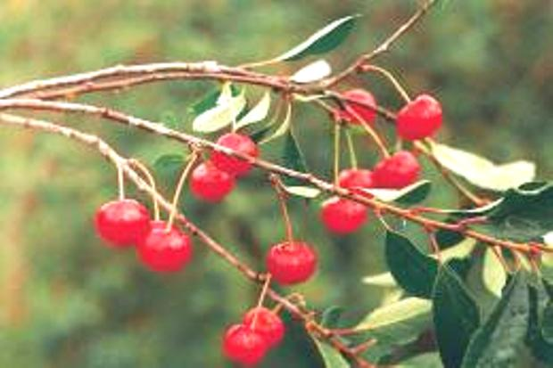 Сорт вишни обыкновенной: Труженица Татарии