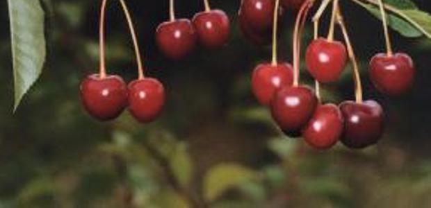 Сорт вишни обыкновенной: Тургеневка