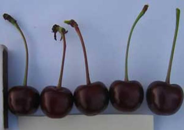 Сорт вишни обыкновенной: Тверитиновская