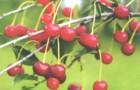 Сорт вишни обыкновенной: Уральская рябиновая