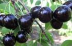 Сорт вишни обыкновенной: Владимирская