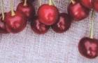 Сорт вишни обыкновенной: Жердевская красавица
