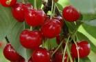 Сорт вишни обыкновенной: Живица