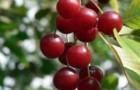 Сорт вишни обыкновенной: Жуковская