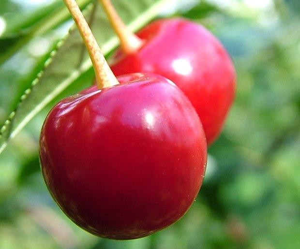 Сорт вишни обыкновенной: Журавка