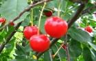 Сорт вишни обыкновенной: Заря Татарии