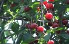 Сорт вишни обыкновенной: Звезда