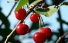 Сорт вишни степной: Алтайская ласточка
