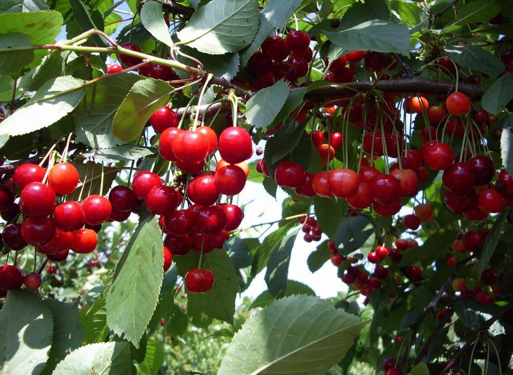 Сорт вишни степной: Алтайская ранняя