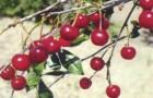 Сорт вишни степной: Болотовская