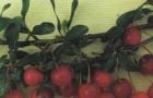 Сорт вишни степной: Курчатовская