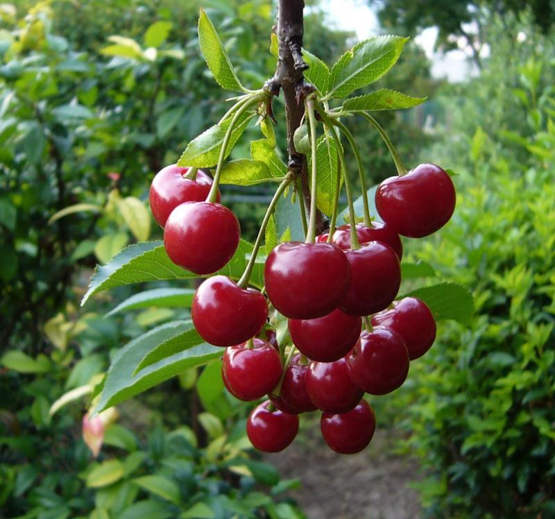 Сорт вишни степной: Максимовская
