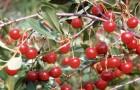 Сорт вишни степной: Мечта Зауралья