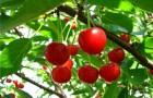 Сорт вишни степной: Обь