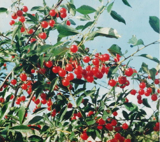 Сорт вишни степной: Пламенная