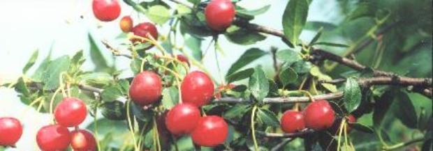 Сорт вишни степной: Преемница