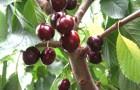 Сорт вишни степной: Ранняя степная