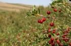 Сорт вишни степной: Шадринская