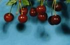 Сорт вишни степной: Селиверстовская