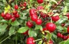 Сорт вишни степной: Субботинская