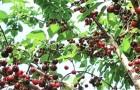 Сорт вишни степной: Вузовская