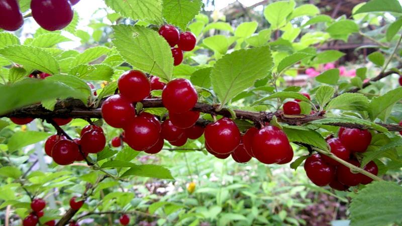 Сорт вишни войлочной: Амурка