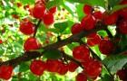 Сорт вишни войлочной: Красавица