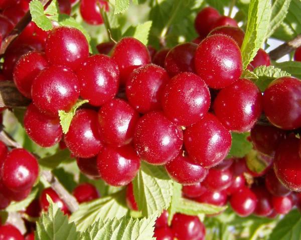 Сорт вишни войлочной: Лето