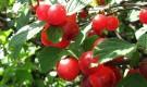Сорт вишни войлочной: Натали