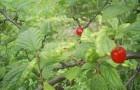 Сорт вишни войлочной: Океанская вировская