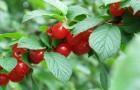 Сорт вишни войлочной: Осенняя вировская