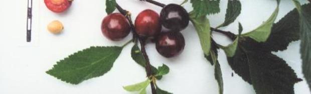 Сорт вишни войлочной: Смуглянка восточная