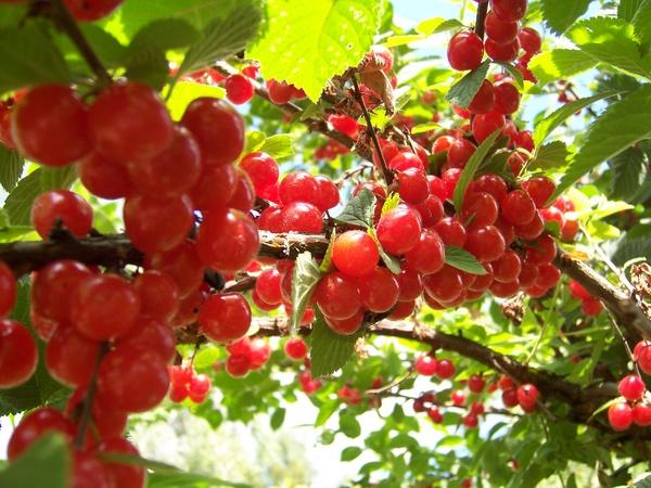 Сорт вишни войлочной: Царевна