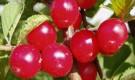 Сорт вишни войлочной: Триана