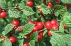 Сорт вишни войлочной: Восточная