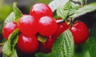 Сорт вишни войлочной: Восторг