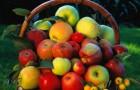 Сорт яблони: Алпек
