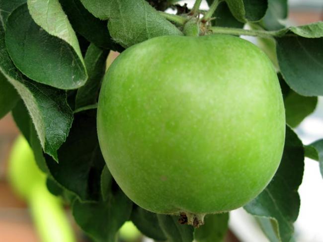 Сорт яблони: Альпинист