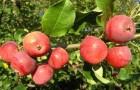 Сорт яблони: Алтайский голубок