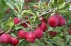 Сорт яблони: Алтайское багряное