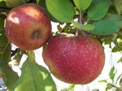 Сорт яблони: Алтайское крапчатое