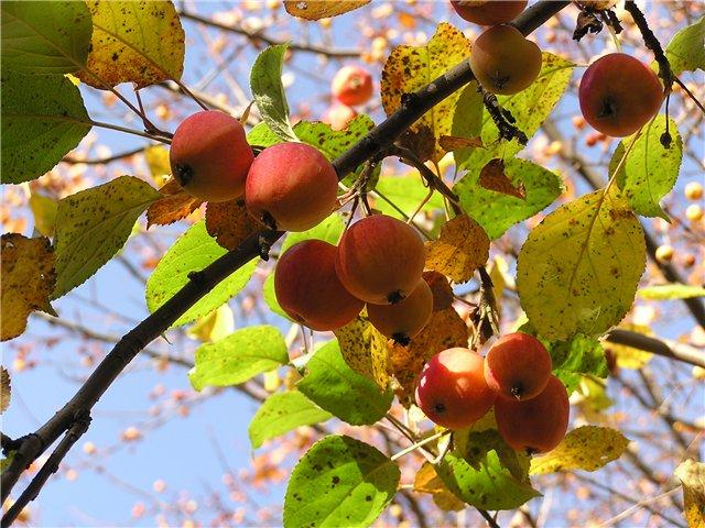 Сорт яблони: Алтайское пурпуровое